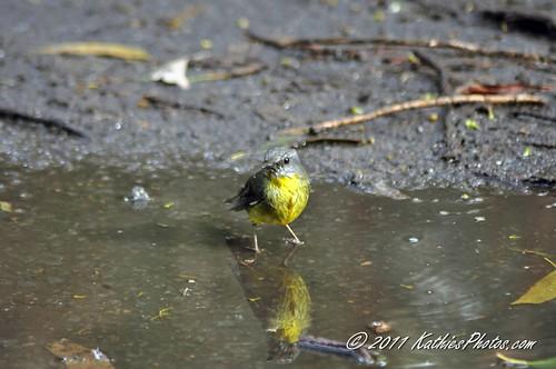 154-365 Eastern Yellow Robin after a bath