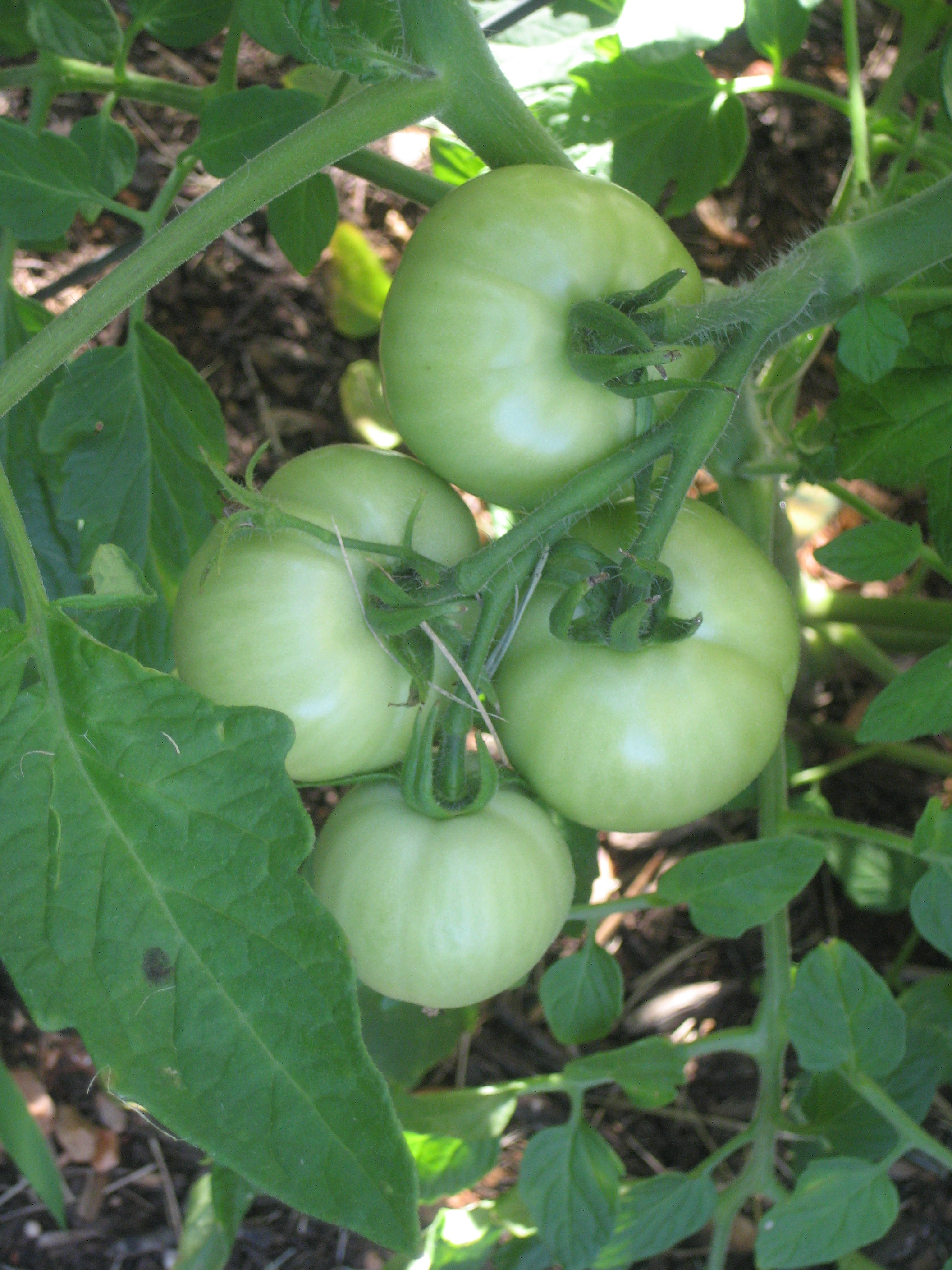 Tomatoes on the Vine :)