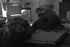 Circa. '58 Zeiss Ikon Contaflex IV (PositiveAboutNegatives) Tags: blackandwhite bw dog film zeiss 50mm lab labrador kodak trix retriever vintagecamera zeissikon ikon coolscan manualcamera contaflex tessar primelens contaflexiv 50mmtessar nikon9000scanner aristapremium400 blackandwhitefilmphotography freefilmimages freefilmpictures