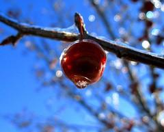 A Sparkling Frozen Apple (Don3rdSE) Tags: blue winter red sky sun storm cold color macro ice apple nature closeup fruit december glow dof natural bokeh iowa sparkle apples breathtaking crabapple desmoinesia colourartaward canong9 breathtakinggoldaward don3rdse breathtakinghalloffame