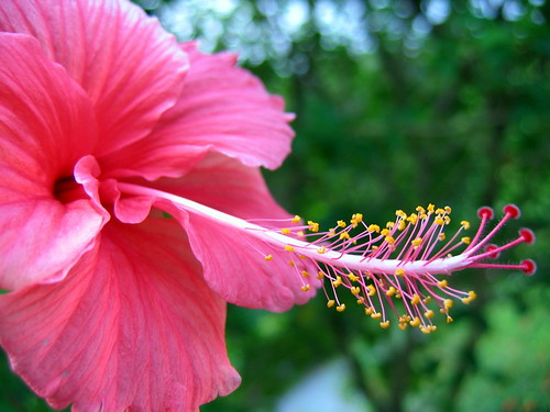 Chinese Hibiscus Leaf Extract Increases Hair Growth In Mice