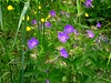 midsommarblomster / Wood Cranesbill / Geranium sylvaticum