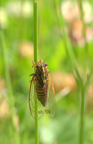cicadas-red rim of wings by ab '09
