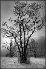 revival of an old friendship (gregor H) Tags: trees blackandwhite bw tree nature landscape austria friendship homage revival vorarlberg frastanz frastanzerried
