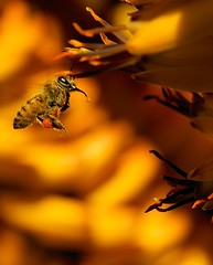 Bee! (Danny Perez Photography) Tags: california park ca flowers abejas plants plant flower macro love nature gardens closeup garden insect daylight losangeles wings aloe nikon bees insects arboretum bee abelha honey inseto micro ape nectar pollen nikkor abeja insekt honeybee vr arcadia abeille bij insetto biene  insecto honeybees 105mm aloes insecta   naturesfinest  pollinator  apoidea pollinators  alo thearboretum  105mmf28gvrmicro 105mmf28gedifafsvrmicronikkor afsvrmicronikkor105mmf28gifed dannyperez  nikon105mmf28gedifafsvrmicronikkorlens d700 da100fotos  nectarivore nectarivores thearboretumoflosangeles dannyperezphotography
