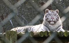 Behind Bars (Starchild_***) Tags: wild nikon tiger safari captive rare extinction whitetiger d3 prisoner captivity wildanimals westmidlandssafaripark bewdley borntobefree imprisioned flickrbigcats lightiq