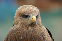 Black Kite (najasuphan) Tags: kite bird animal zoo eagle hawk wildlife sony raptor falcon dslr a200 osprey a100 potofgold a300 a700 a900 a350