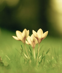 yearning (harold.lloyd) Tags: three perfect crocus magical bha yearning yesitis crocii so fulloflight itsthemagicnumber hnff glorgeous crocusi crocuseseses notsadthisone glowyyellow
