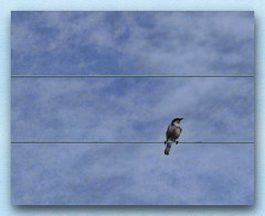 Blue in 3rds (Daryl's World TTL) Tags: bluesky bluejay panasonic pointandshoot skyblue ruleof3rds birdonwire dmctz5