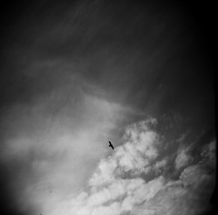 Strong and Free (liquidnight) Tags: seattle sky blackandwhite bw seagulls 120 film monochrome birds clouds mediumformat flying holga gulls birding free strong soaring mighty birdwatching larus occidentali justclouds