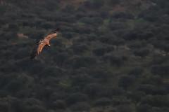 Griffon Vulture - Monfrague National Park (Guillermo Fdez) Tags: park parque espaa spain natural national vulture nacional monfrage reserva buitre leonado extremadura caceres gyps fulvus griffonvulture monfrague