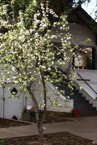 Flowering apple tree.