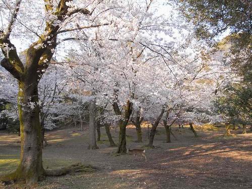 09-04-05【桜】@奈良公園