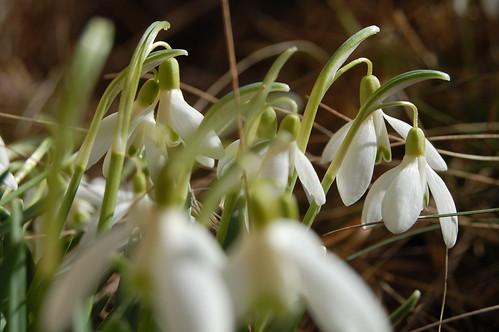 Little white drops of snow (copyright Hanna Andersson)