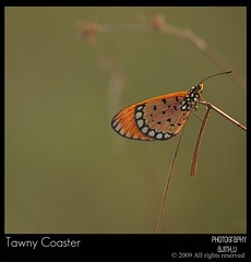 The Tawny Coaster