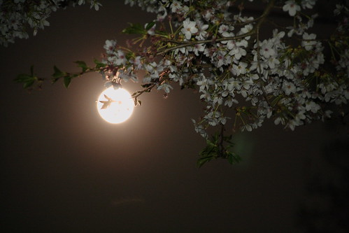 Full Moon & Sakura
