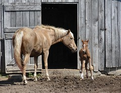 15 Minutes Old (cindy47452) Tags: horse baby male barn mare indiana mama newborn colt equine saltillo brandnew foal washingtoncounty p171 15minutesold