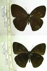 Forsterinaria proxima