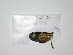 NW127-3 Mechanitis lysimnia (nymsysgro) Tags: brazil nymphalidae danainae mechanitis lysimnia ithomiini