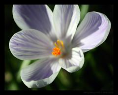 (reallyreallyrosie) Tags: uk england flower macro closeup canon garden eos spring kiss crocus devon upclose totnes southhams dartington dartingtonhall 400d rebelxti reallyreallyrosie copyrightpaulawakeham