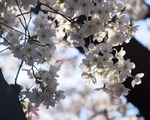 Sakura in Naka Meguro 05