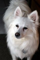 Matix thinking about the Easter bunny.. (*Michelle*(meechelle)) Tags: dog white fluffy wmp americaneskimo matix eskie blueribbonwinner impressedbeauty mydaughtersdog vosplusbellesphotos