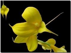 yellow orchids (ccmerino) Tags: flowers flower macro nature flora macros masterphotos