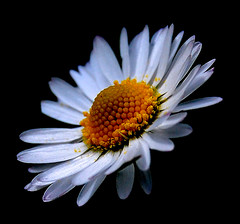 The Daisy (Ward,Daisy) Tags: white yellow dark spring daisy nectar teenage nobackground