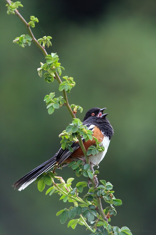 Spotted Towhee 04091