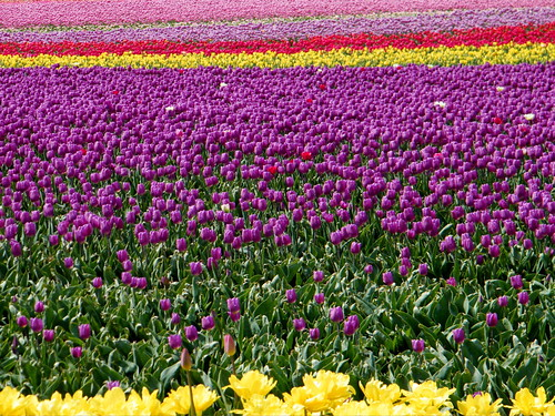 40 Acres of Tulips