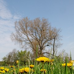 Maretak / mistletoe (Plutone (NL)) Tags: blue white tree yellow groen blauw boom mistletoe gras lucht lente geel mechelen limburg wolk geul paardebloem maretak vogellijm