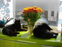 Poezen (indigo_jones) Tags: flowers orange black green utrecht tulips lola nederland luna poezen blackcats bestofcats