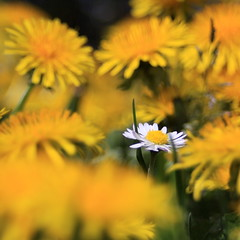 one in a million (jenny downing) Tags: wild white blur france flower field yellow petals weed bright bokeh blurred explore daisy wildflowers dandelions oneinamillion infrance explored jennypics takeninfrance jennydowning photobyjennydowning