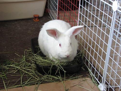 gus in the hay bowl again