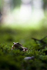 Frog King (Vol.1) (Martin.Matyas) Tags: canon canonef50mmf18 frog frosch eos400d