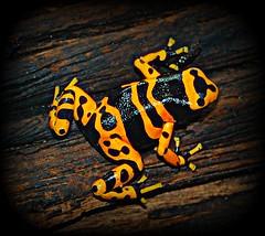 Dangerous frog (GlossyEye.) Tags: world color colour nature animal yellow photography la nikon frog 55mm animalia fa differenza ♥♥ lamicizia ♫♪♫ ♫♪♫♥♥lamiciziafaladifferenza♫♪♫♥♥ picnikorpicnic