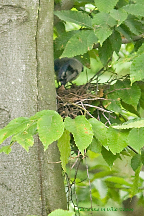 blue jay mom feeding babies photo by Adrienne in Ohio