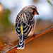 Black-throated Canary: Serinus atrogularis