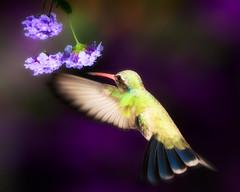 """ Femme "" (Alfredo11) Tags: flowers motion flores bird speed mexico fly flash flight ave alfredo pajaro rapido beijaflor vuelo colibri volar humingbird picaflor nikonsb600 nikonsb800 sekonic rapidez nikoncreativelightingsystem nikond3 nikon70200mm28 nikonsb900 elinchromlite2"