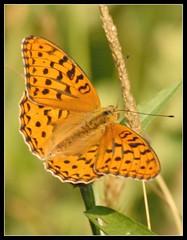 Argynnis adippe (giansacca) Tags: butterfly insects lepidoptera papillon mariposa farfalla insetti farfalle digitalcameraclub lepidottero argynnisadippe adippe