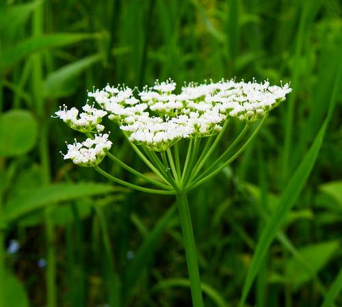 Flowering Bishop's Weed