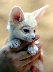 Fennec fox (floridapfe) Tags: baby white cute animal canon zoo korea everland  fennecfox platinumheartaward