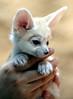 Fennec fox (floridapfe) Tags: baby white cute animal canon zoo korea everland 에버랜드 fennecfox platinumheartaward