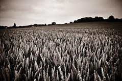 Endless Wheat (Esther Seijmonsbergen) Tags: uk england field ir wheat farming lincolnshire crop infrared crops wheatfield bonby estherseijmonsbergen