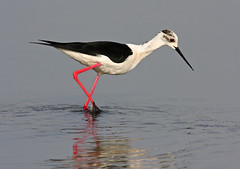 Black-winged Stilt, Himantopus himantopus (f_snarfel) Tags: stilt cavaliereditalia pernilongo himantopushimantopus blackwingedstilt himantopus chasse pernalonga recurvirostridae uitkerksepolder steltkluut stelzenlufer rooipootelsie commonstilt chasseblanche pitkjalka styltlpare glyatcs cigeuelacomun styltlober