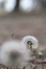 Wishing Flowers (whimsylove) Tags: dandelion bridgeport morrillcounty thepits wishingflower