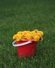 [フリー画像] 花・植物, キク科, タンポポ, 黄色の花, 201005210700