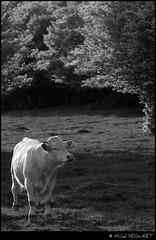 Un bon air  humer (Michel Seguret (Thanks for + 5.000.000 views)) Tags: art cow artist arte cattle plateau kunst mucca naturesbest vache vaca artiste mbp smrgsbord aubrac ruminant btail golddragon bovid mostbeautifulpicture dragongoldaward excelenceofphotographeraward mbpictures mostbeautifulpictures