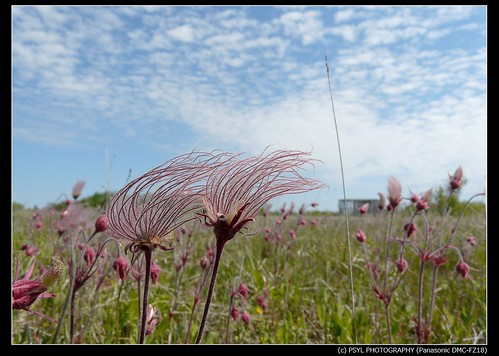 Prairie Smoke (Geum triflorum)