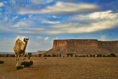 Camel in Tuwaiq Mountains HDR (TARIQ-M) Tags: sky cloud tree texture landscape sand waves desert dunes camel camels riyadh saudiarabia hdr بر الصحراء canonefs1855 جمال الرياض صحراء جمل ابل نياق المملكةالعربيةالسعودية canon400d ناقة tuwaiqmountains جبالطويق جبلطويق